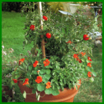 Kräuter und Tomatentopf