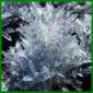 Kreuzkraut wird als Blattschmuckpflanze eingesetzt
