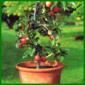 Obstpflanzen aus dem Kübel
