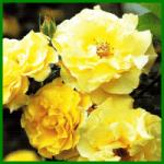 Lichtkönigin Lucia, eine unermüdlich blühende Strauchrose