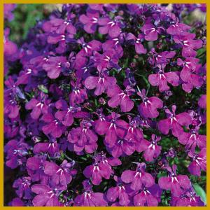 Männertreu, Blütenpracht Für Garten Und Balkon, Von Mai Bis Oktober Blutenpracht Auf Dem Balkon Blumen