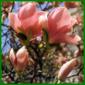 Die Gartenmagnolie, exotisch und reizvoll