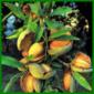 Mandel, wohlschmeckende Kerne und schöne Blüten