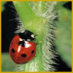 Marienkäfer sind beliebte und nützliche Säuberungsräuber