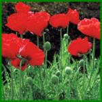 Türkischer Mohn mit Leuchtenden Schalenblüten