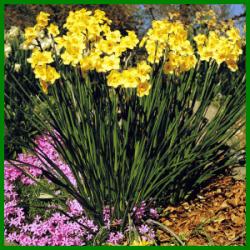 Narzissen gibt es in den Farben Gelb oder Weiss