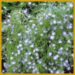 Nemophila, Hainblume, Vermehrung, Pflege