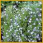 Nemophila oder auch Hainblume, Vermehrung, Pflege
