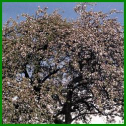 Obstbäume für den eigenen Garten