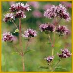 Origano gehört zu den mehrjährigen Pflanzen