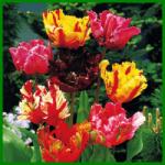 Papagei-Tulpen ziehen die Blicke besonders an