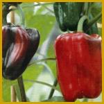 Paprika, Aufzucht, Aussaat, Schwierigkeitsgrad
