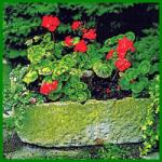 Pelargonien, faszinierende Blütenpracht