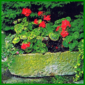 Pelargonien , faszinierende Blütenpracht