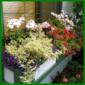 Blumenkasten mit verschiedenen Pelargonien