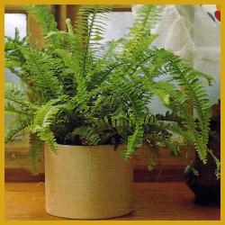 gartenschlumpf pflanzen f r trockene heizungsluft pflege und tipps. Black Bedroom Furniture Sets. Home Design Ideas