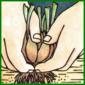 Pflanzen teilen, zur Pflege und zur Vermehrung