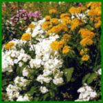 Phlox wird in vielen Gegenden auch Flammenblume genannt