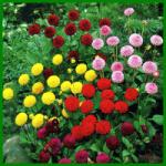 Pompondahlien blühen überreich in fast allen Farben