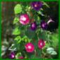 Prunkwinden, pflegeleicht und schnellwachsend, die Pflanze ist giftig