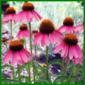 Purpursonnenhut, eine Sonnenhungrige Pflanze