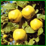 Quitte, aromatische apfel - oder birnenförmige Früchte im Herbst