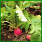 Radieschen, ein pflegeleichtes gesundes Gemüse