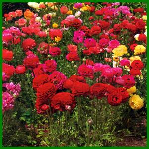 Ranunkeln bringen viel Farbe in den Garten