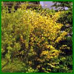 Ranunkelstrauch, Japanische Rose oder Japanisches Goldröschen