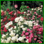 Rosenbeet im Sommer mit frostharten Rosensorten