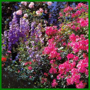 Begleitpflanzen Für Rosen : rosenpartner begleitpflanzen f r rosen wichtige voraussetzungen ~ Orissabook.com Haus und Dekorationen