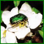 Rosenschädlinge frühzeitig entdecken und für Abhilfe sorgen