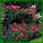 Rosen Schneiden, ein guter Schnitt hält die Rose gesund