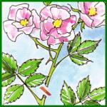 Rosenschnitt, Auslichten und den Rückschnitt