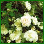 Bibernell, Maigold, Morgenrot, und andere Rosensorten