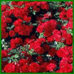 Okulation von Rosen (von lateinisch: oculus = Auge)