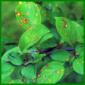 Die Pflanzenkrankheit Rost behandeln