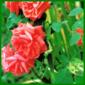 Rußtau zählt zu den häufigsten Rosenkrankheiten