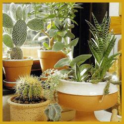 Südfenster, Zimmerpflanzen die sich für das Fenster eignen