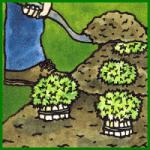Salat und Salat-Gemüse im Garten anbauen