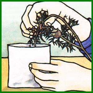 Pflanzensamen von Gartenpflanzen sammeln
