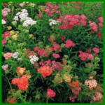 Schafgarbe, aromatisch duftende Blütendolden