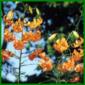 Scharlachlilie, eine elegante Lilie mit orangefarbenen Blüten