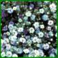 Schleierkraut, eine reichverzweigte Pflanze