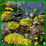 Sedum-Arten, die vielseitigen Blüher für trockene Standorte