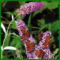 Sommerflieder oder Schmetterlingsstrauch