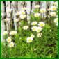 Sommermargeriten, klassische pflegeleichte Wildblumen