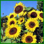 Sonnenblumen, beliebte pflegeleichte Gartenblumen
