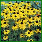 Sonnenhut, Blütenfülle und Langlebigkeit