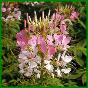 Spinnenpflanze, eignet sich gut als Hintergrundpflanze